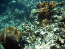 κοραλλιογενής ύφαλος εγκεφάλου εμποδίων στοκ εικόνες με δικαίωμα ελεύθερης χρήσης