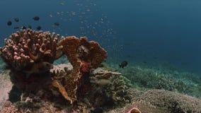 Κοραλλιογενής ύφαλος με τα σκληρά κοράλλια και Sweetlips 4k απόθεμα βίντεο