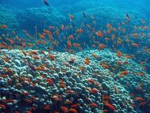Κοραλλιογενής ύφαλος με το μεγάλο σκληρό κοπάδι κοραλλιών των anthias Στοκ Εικόνες