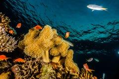 Κοραλλιογενείς ύφαλοι και εργοστάσια νερού στη Ερυθρά Θάλασσα Στοκ Εικόνες