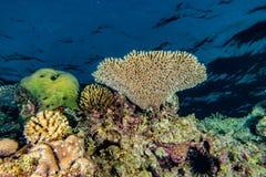 Κοραλλιογενείς ύφαλοι και εργοστάσια νερού στη Ερυθρά Θάλασσα στοκ φωτογραφία