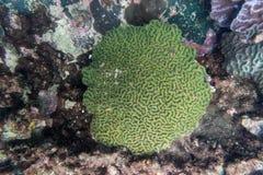 Κοραλλιογενής ύφαλος εγκεφάλου υποβρύχια Στοκ φωτογραφία με δικαίωμα ελεύθερης χρήσης