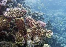 Grouper κοραλλιών Στοκ Εικόνες