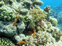 Κοραλλιογενής ύφαλος με τα anthias ψαριών scalefin στην τροπική θάλασσα, υποβρύχια Στοκ φωτογραφία με δικαίωμα ελεύθερης χρήσης