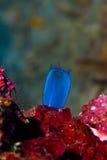 Κοραλλιογενής ύφαλος με τη σκληρή κινηματογράφηση σε πρώτο πλάνο κοραλλιών υποβρύχιο με ραβδώσεις volitans Ερυθρών Θαλασσών ptero Στοκ Εικόνα
