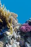 Κοραλλιογενής ύφαλος με το ιώδες σκληρό poccillopora κοραλλιών στο κατώτατο σημείο της τροπικής θάλασσας στο μπλε υπόβαθρο νερού Στοκ Εικόνα