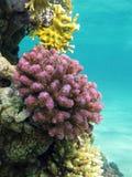 Κοραλλιογενής ύφαλος με το ιώδες σκληρό poccillopora κοραλλιών στο κατώτατο σημείο της τροπικής θάλασσας Στοκ Φωτογραφία