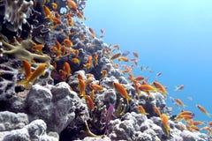 Κοραλλιογενής ύφαλος με το κοπάδι των anthias ψαριών scalefin στην τροπική θάλασσα Στοκ φωτογραφίες με δικαίωμα ελεύθερης χρήσης