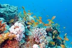 Κοραλλιογενής ύφαλος με το κοπάδι των anthias ψαριών scalefin, υποβρύχιο Στοκ φωτογραφία με δικαίωμα ελεύθερης χρήσης