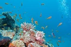 Κοραλλιογενής ύφαλος με το κοπάδι των anthias ψαριών scalefin, υποβρύχιο Στοκ εικόνα με δικαίωμα ελεύθερης χρήσης