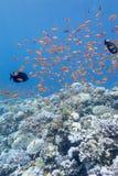 Κοραλλιογενής ύφαλος με το κοπάδι των anthias ψαριών scalefin, υποβρύχιο Στοκ Εικόνα