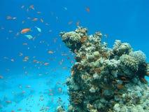 Κοραλλιογενής ύφαλος με το κοπάδι των anthias ψαριών scalefin, υποβρύχιο Στοκ Εικόνες