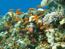 Κοραλλιογενής ύφαλος με το κοπάδι των anthias ψαριών scalefin, υποβρύχιο Στοκ Φωτογραφία