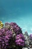 Κοραλλιογενής ύφαλος με το ρόδινο κοράλλι pocillopora στο κατώτατο σημείο της τροπικής θάλασσας Στοκ φωτογραφία με δικαίωμα ελεύθερης χρήσης
