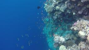 Κοραλλιογενείς ύφαλοι, χλωρίδα και πανίδα απόθεμα βίντεο