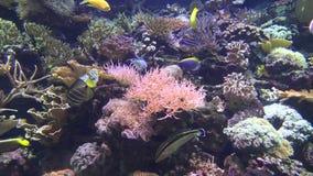Κοραλλιογενείς ύφαλοι, ψάρια, ζωή θάλασσας, υποβρύχια φιλμ μικρού μήκους