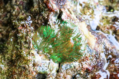 Κοραλλιογενείς ύφαλοι anemone θάλασσας στα ρηχά νερά Στοκ φωτογραφίες με δικαίωμα ελεύθερης χρήσης
