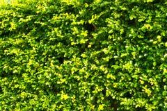 Κορεατικός banyan τοίχος δέντρων Στοκ εικόνες με δικαίωμα ελεύθερης χρήσης