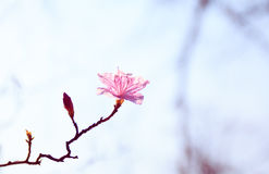 κορεατικός rosebay Στοκ Εικόνες