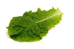 Κορεατικό μαρούλι-Lactuca sativa Στοκ εικόνα με δικαίωμα ελεύθερης χρήσης