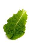 Κορεατικό μαρούλι-Lactuca sativa Στοκ Εικόνες