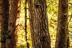 Κορμοί δέντρων κωνοφόρων Στοκ Εικόνες
