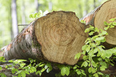 Κορμοί δέντρων οξιών Στοκ Εικόνα