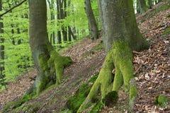 Κορμοί δέντρων στο δάσος Στοκ φωτογραφίες με δικαίωμα ελεύθερης χρήσης