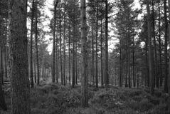 Κορμοί δέντρων στο δάσος Στοκ Εικόνες