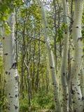 Κορμοί δέντρων της Aspen την άνοιξη Στοκ φωτογραφία με δικαίωμα ελεύθερης χρήσης