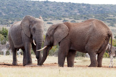 Κορμοί - αφρικανικός ελέφαντας του Μπους Στοκ εικόνα με δικαίωμα ελεύθερης χρήσης