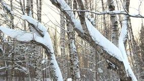 Κορμοί δέντρων κινηματογραφήσεων σε πρώτο πλάνο που καλύπτονται με το χιόνι απόθεμα βίντεο