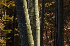 Κορμοί δέντρων οξιών το φθινόπωρο Στοκ Εικόνες
