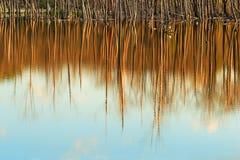 Κορμοί δέντρων που απεικονίζονται στο νερό στο απόγειο στοκ εικόνες με δικαίωμα ελεύθερης χρήσης