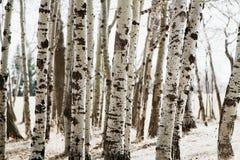 Κορμοί δέντρων σημύδων σε ένα δάσος Στοκ Εικόνες