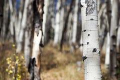 Κορμοί δέντρων της Aspen Στοκ Φωτογραφίες
