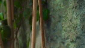 Κορμοί μπαμπού και πράσινες εγκαταστάσεις στον τοίχο πετρών υποβάθρου στον κήπο Ανάπτυξη μπαμπού στο πράσινο φύλλωμα υποβάθρου κα απόθεμα βίντεο