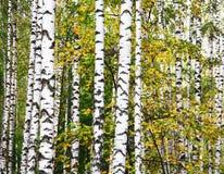 Κορμοί σημύδων φθινοπώρου στοκ εικόνα