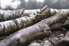 Κορμοί σημύδων Στοκ Φωτογραφία