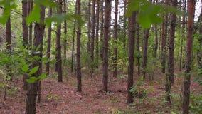 Κορμοί της ημέρας δέντρων σημύδων την άνοιξη ως υπόβαθρο απόθεμα βίντεο
