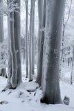 Κορμοί των δέντρων οξιών που καλύπτονται με τον παγετό Στοκ Εικόνα