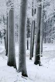 Κορμοί των δέντρων οξιών που καλύπτονται με τον παγετό Στοκ Φωτογραφία