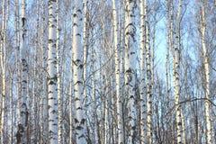 Κορμοί των δέντρων σημύδων στο σημύδα-ξύλο Στοκ Φωτογραφία
