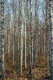 Κορμοί των δέντρων σημύδων Στοκ φωτογραφίες με δικαίωμα ελεύθερης χρήσης