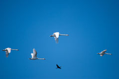 κορμοράνοι που πετούν τη λίμνη πέρα από τη Ρουμανία Στοκ φωτογραφία με δικαίωμα ελεύθερης χρήσης