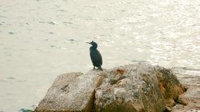 Κορμοράνος - αργυροειδής θάλασσα στοκ φωτογραφία