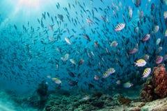 Κορμοράνος αλιεύοντας υποβρύχιος στη σφαίρα δολώματος Στοκ Εικόνες