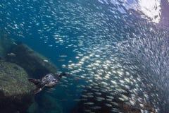 Κορμοράνος αλιεύοντας υποβρύχιος στη σφαίρα δολώματος Στοκ φωτογραφία με δικαίωμα ελεύθερης χρήσης