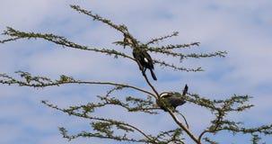 Κορμοράνος καλάμων ή με μακριά ουρά κορμοράνος, phalacrocorax africanus, ζευγάρι στην κορυφή ενός δέντρου, ερωτοτροπία που επιδει απόθεμα βίντεο