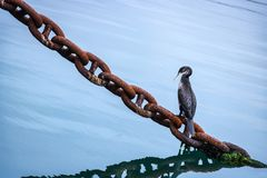 Κορμοράνος στη σκουριασμένη αλυσίδα, Νέα Ζηλανδία Στοκ Φωτογραφία